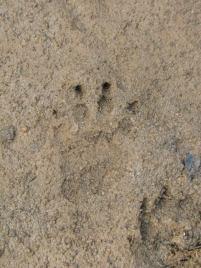 Porcupine pugmark