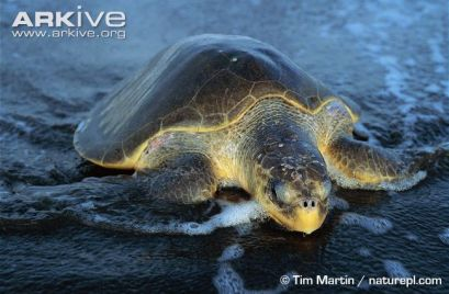 Olive-ridley-turtle-crawling-onto-beach