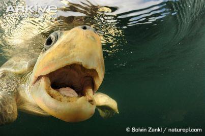Olive-ridley-turtle-underwater