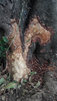 Porcupine damage
