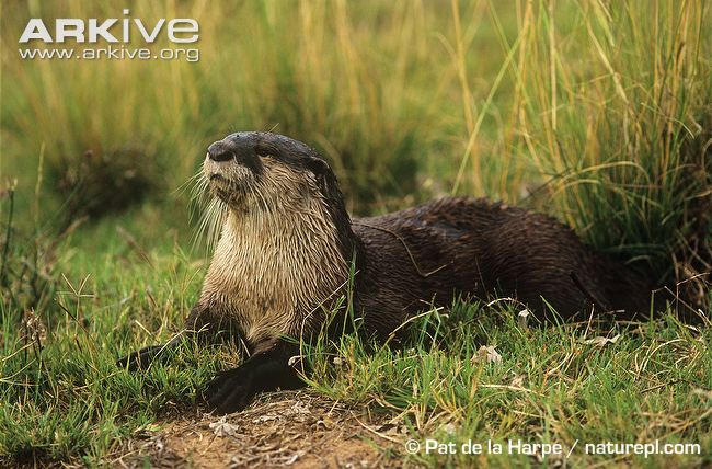 African-clawless-otter-on-bank
