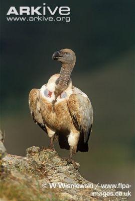 Cape-vulture-on-rock