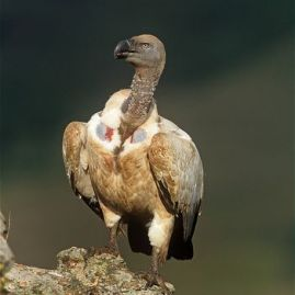 Cape-vulture-on-rock