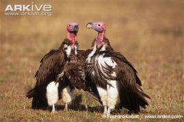 Lappet-faced-vultures---courting-couple