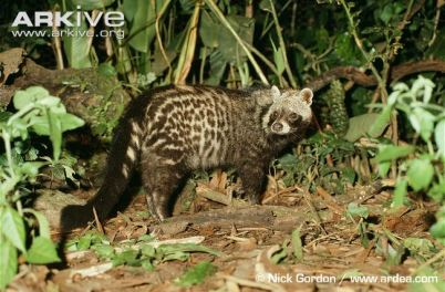 Adult-African-civet-standing-in-small-clearing-full-body-view
