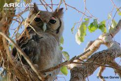 Giant-eagle-owl-close-up