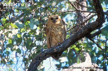 Pels-fishing-owl