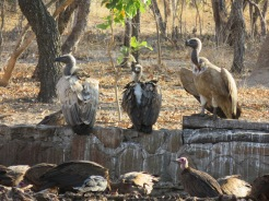 White backed, cape and hooded vultures at a restaurant